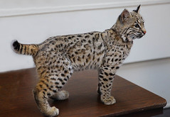 toyger(0.0), savannah(0.0), lynx(0.0), pixie-bob(0.0), domestic short-haired cat(0.0), animal(1.0), bengal(1.0), small to medium-sized cats(1.0), pet(1.0), european shorthair(1.0), fauna(1.0), egyptian mau(1.0), cat(1.0), rusty-spotted cat(1.0), wild cat(1.0), carnivoran(1.0), whiskers(1.0), bobcat(1.0), ocicat(1.0),