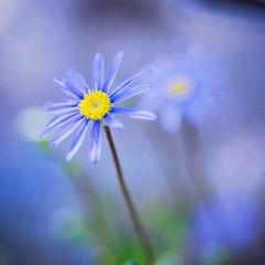 [フリー画像素材] 花・植物, ヒナギク・デイジー ID:201203210600