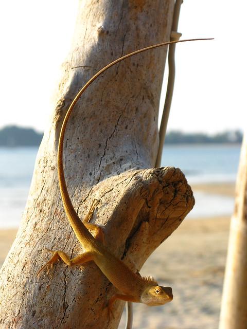 Calotes versicolor