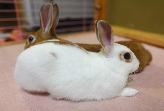 Netherland Dwarf Rabbit  ♥  Mini Usagi