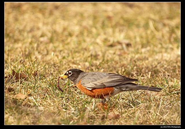 American Robin (Turdus migratorius) with a worm