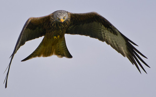 red kite bird animals wales nikon wildlife kites nikkor brecon 70300mm d3100