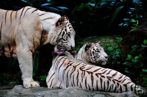 Love is all around (White tigers 白老虎)