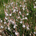Onion-Leafed Asphodel - Photo (c) Flores y Plantas, some rights reserved (CC BY-NC-SA)