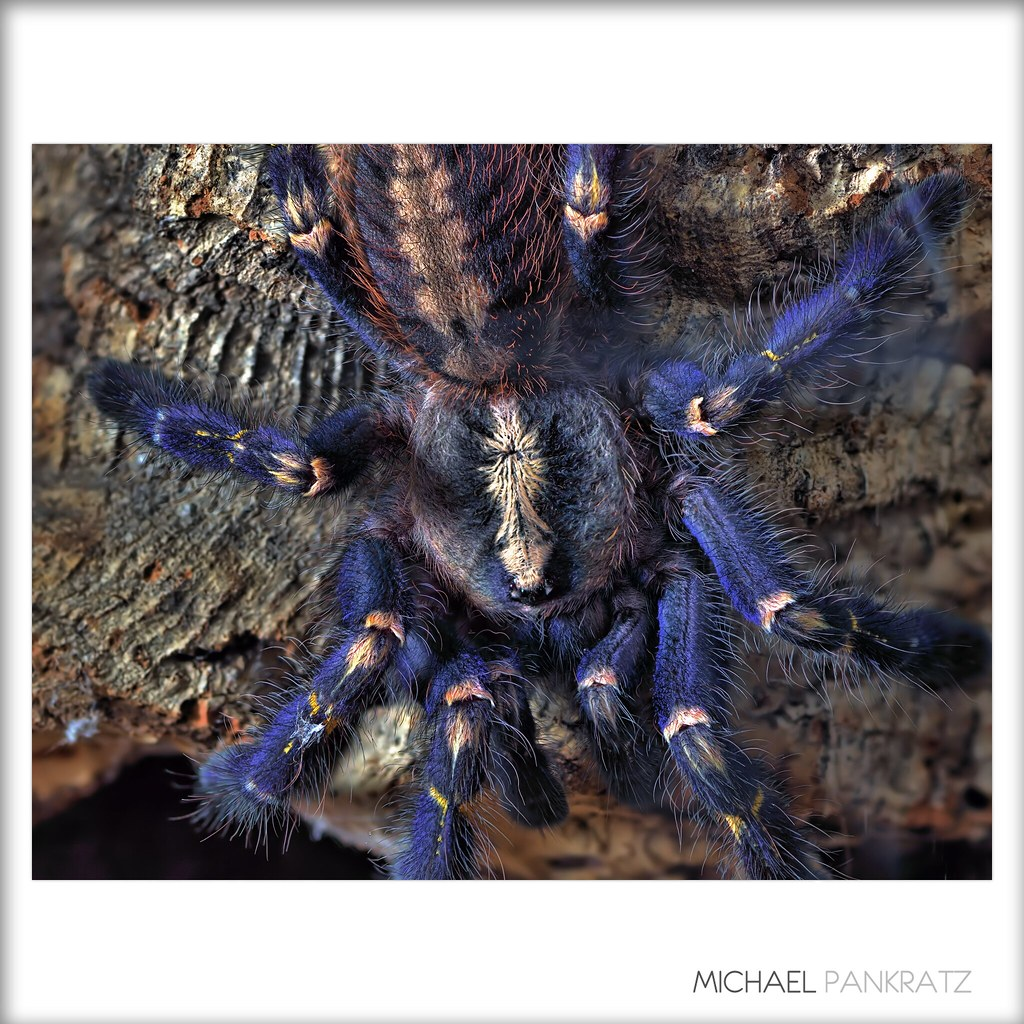 1000+ images about spiders on Pinterest | Cobalt blue ...