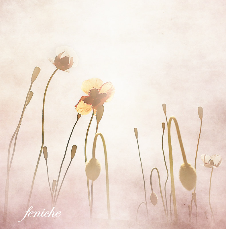 primavera amapola