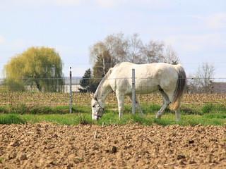 cavallo bianco,  Haaltert