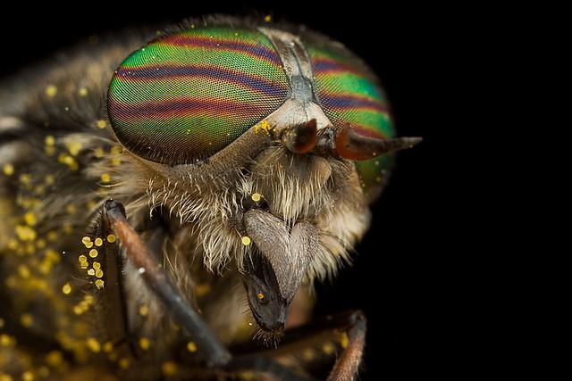 Horsefly 2