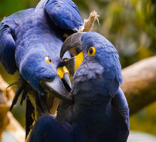 Hyacinth Macaw pair courting by Shiny Dewdrop