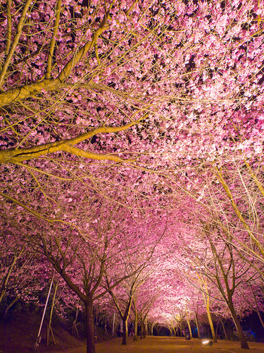 jay Chang Cherry Blossoms Tunnel at Night