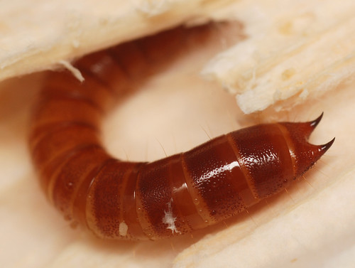 darkling beetle larva or false wireworm