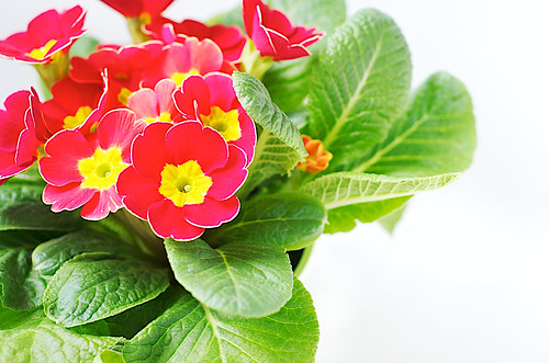 Red and yellow primrose