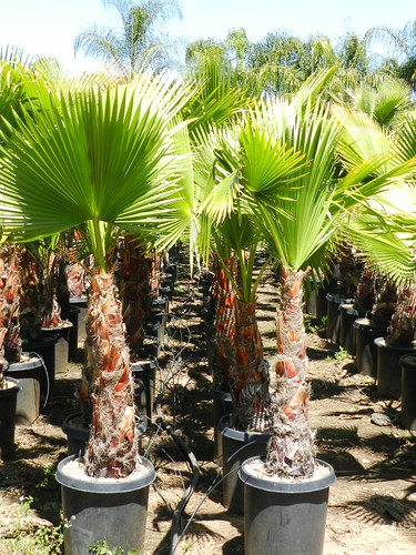 Washingtonia Robusta 15gl
