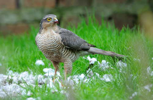 Sparrowhawk Feeding On Collared Dove