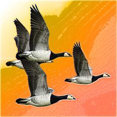 Black & White geese