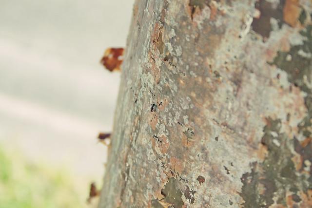 tree ant