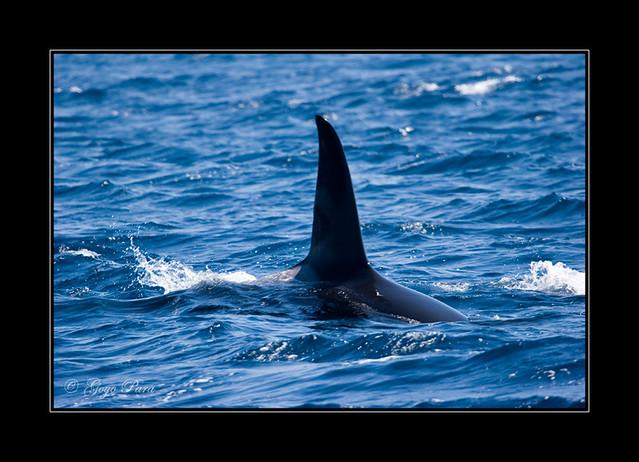 La ballena asesina