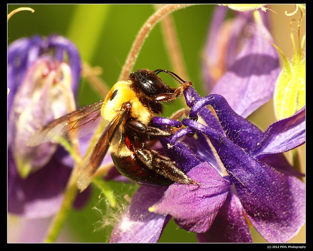 Carpenter Bee (Xylocopa virginica) robbing nectar