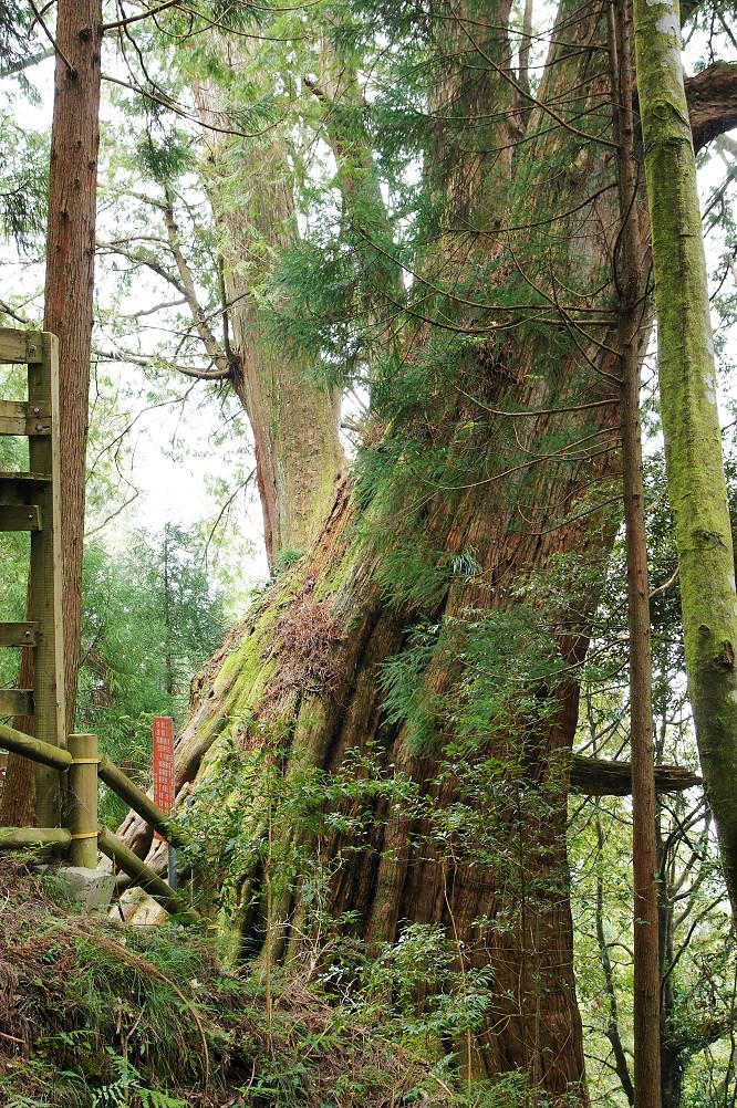 觀霧巨木步道-053