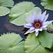 Water Lily by morozgrafix