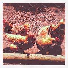 Day 24 - An Animal. Well, these are the occupants of 'The Chook Mahal' in our backyard. Very handy pets! #marchphotoaday #notforeating