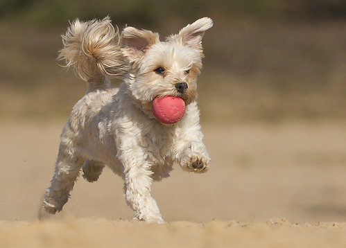 Running dog with a ball
