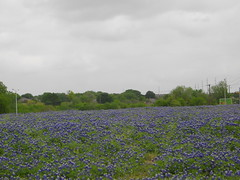 Texas bluebonnets, Garland, Texas