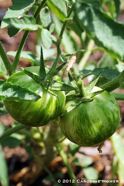 'Green Zebra' tomatoes