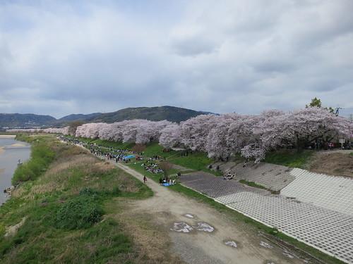朝練に御幸橋までいったら桜満開で人もいっぱいだった。いつもロード専用橋なのに・・・。
