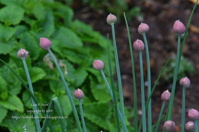 2014.05.05Chives