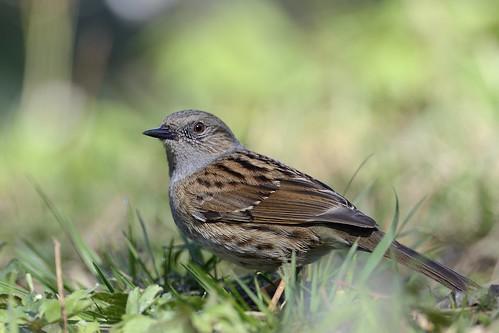 birds sweden aves dunnock sverige prunellamodularis fåglar järnsparv