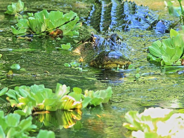 American Alligator 20140421