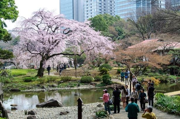 桜の花見を楽しむ人々-3507