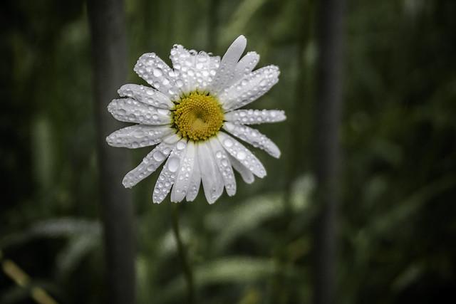 Daisy tears