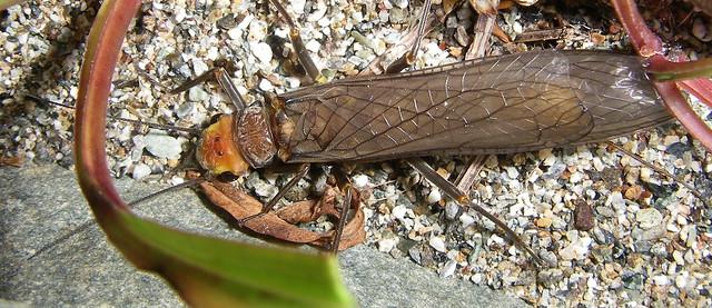 Header of Perlidae