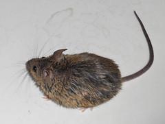 animal(1.0), rat(1.0), rodent(1.0), mouse(1.0), fauna(1.0), muskrat(1.0), muroidea(1.0), degu(1.0), whiskers(1.0), pest(1.0), gerbil(1.0),
