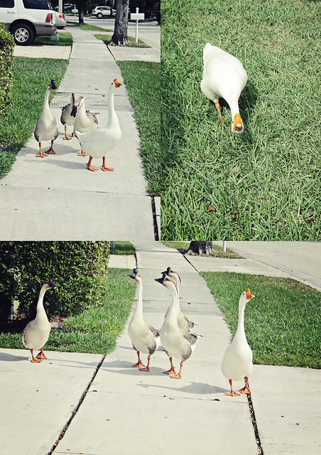 neighborhood geese triptych