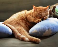[フリー画像素材] 動物 1, 猫・ネコ, 寝顔・寝姿 ID:201210301000