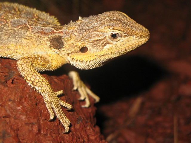 Cutest Bearded Dragon