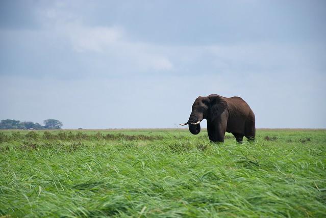 Elefante en el parque nacional de Chobe. Botsuana.