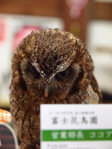 富士花鳥園 スピックスコノハズク(ココア)