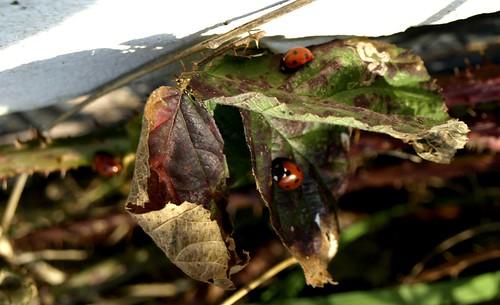ladybugs on leave