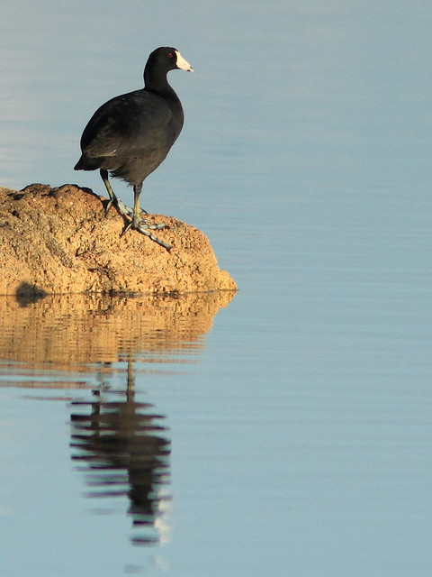 American Coot 20120315