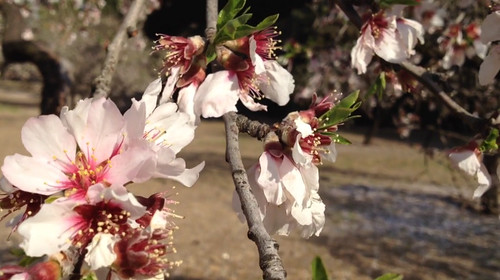76% Los almendros en flor