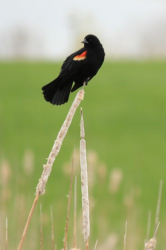 Red-winged Blackbird I