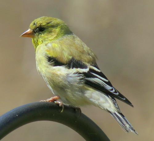 American Goldfinch (Spinus tristis ) - Bernardsville, NJ by JFPescatore
