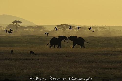 kenya elephants eastafrica amboselinationalpark dianarobinson nikond3s