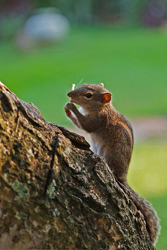 Three-Striped Squirrel