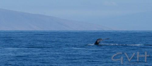 Humpback Whale Tail (Fluke)