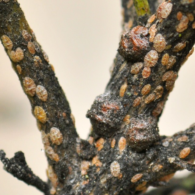 Scale insects (Coccoidea, Homoptera) on Coyote Bush (Baccharis pilularis, Asteraceae)